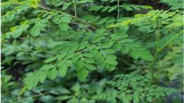 The Top 7 Health Benefits of Moringa Img