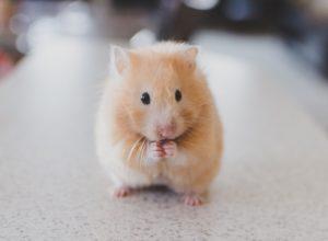 Hamster Health Tips